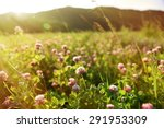 Clover Field With Flowers