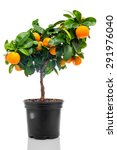 Calamondin In Flowerpot...