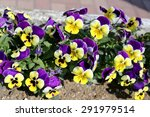 Purple And Yellow Pansy Flower...