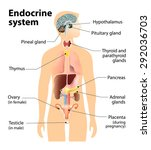 endocrine system. human anatomy.... | Shutterstock .eps vector #292036703