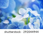 young hydrangea flower with dew.... | Shutterstock . vector #292044944
