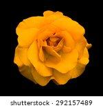 Orange Rose Flower Macro...