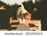 Stock photo jack russell terrier walking on a beam 292292519