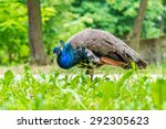 Blue Peacock On Green...