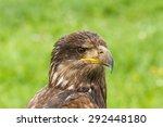 Head Of Bald Eagle  American...