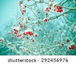 Red Berries Of Viburnum With...