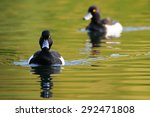 Swimming Tufted Duck Males