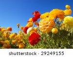 Field Of Ranunculus Flowers ...