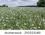 Field Of The White Poppy
