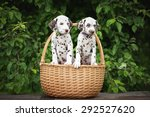 two adorable dalmatian puppies... | Shutterstock . vector #292527620