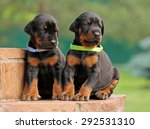 Two Dobermann Puppies On Green...