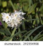 Narcissus  Jonquilla Tazetta...