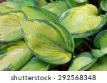 Green Leaves Of Hosta Plant...