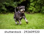 Miniature Schnauzer Dog Runnin...