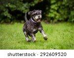 Miniature Schnauzer Dog Runnin...
