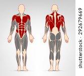 pectoralis  abs  deltoid ... | Shutterstock .eps vector #292679669