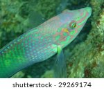 fluorescent fish   pacific... | Shutterstock . vector #29269174