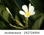 white frangipani flower on tree | Shutterstock . vector #292726904