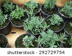Seedlings Lavender In Pots...