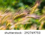 closeup of a barley ears in... | Shutterstock . vector #292769753