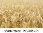 wheat   close up of a wheat... | Shutterstock . vector #292836914