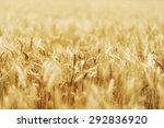 wheat   close up of a wheat... | Shutterstock . vector #292836920