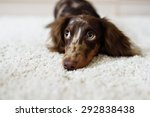 Stock photo dachshund dog looks at camera 292838438