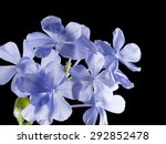 plant lead wort. its gentian...   Shutterstock . vector #292852478