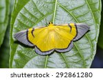 Small photo of Yellow Celerena signata moth hanging under leaf