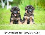 Two Little German Shepherd...