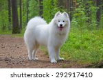 Samoyed Dog In The Summer Forest