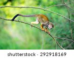 Common Squirrel Monkey  Saimir...