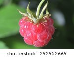 one red close-up perfect raspberry on branch