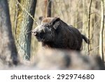 A Huge Wild Boar In Spring...