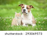 Stock photo american staffordshire terrier dog with little kitten 293069573
