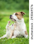 Stock photo little kitten playing with american staffordshire terrier dog 293069576
