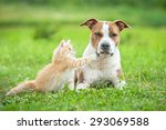Stock photo little kitten playing with american staffordshire terrier dog 293069588