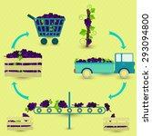 Vector   Grape Production Step...