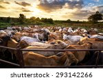 Group of cow in cowshed with...