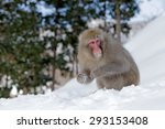 Monkey Japanese Macaque  Macac...