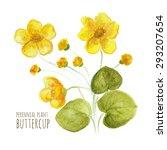 Buttercup Perennial Flower On...