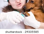 A Dachshund breed dog getting a manicure - stock photo