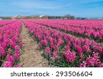 Field With Pink Hyacinth...