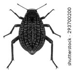 Small photo of Darkling Beetle, Adesmia Abbreviata (Tenebrionidae) isolated on a white background