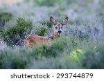 roe deer  capreolus capreolus ...   Shutterstock . vector #293744879