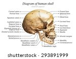 Lateral Aspect Of Human Skull...