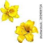 Yellow Lily. Daffodil Flower O...