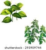 Nettle Plant  Green Birch Tree...