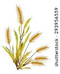 ears of wheat  barley or rye...   Shutterstock .eps vector #293956559