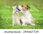 Stock photo american staffordshire terrier dog playing with little kitten 294467729